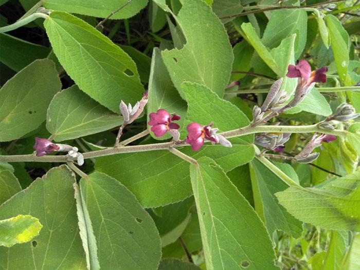 Hoa cây an Xoa