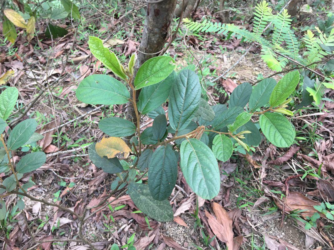 Mua bán cây an xoa kết hợp xạ đen tại Phú Thọ