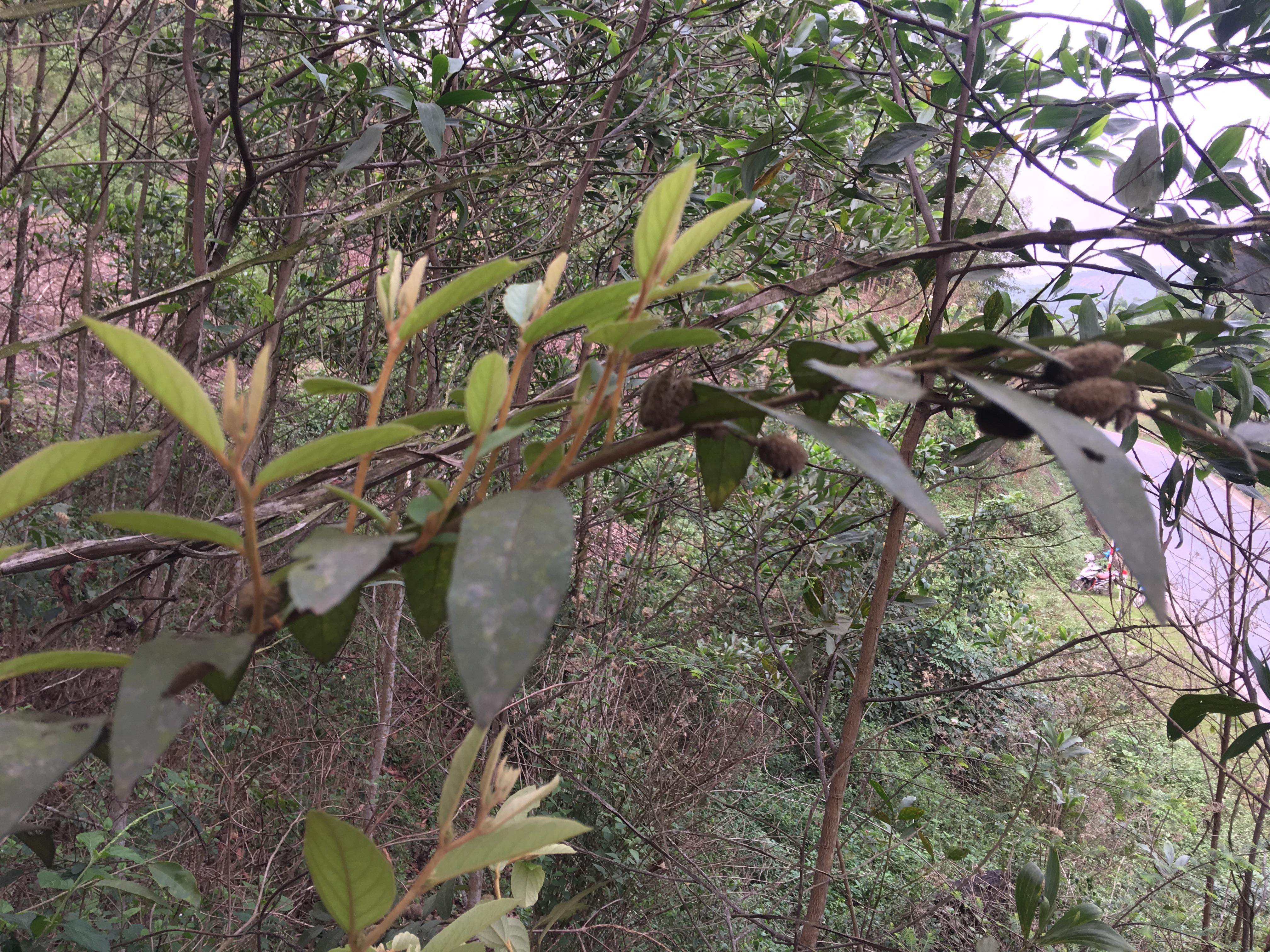 Công ty mua bán cây an xoa tại Bà Rịa Vũng Tàu View 1