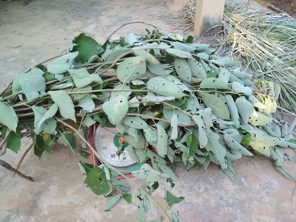 Mua bán cây an xoa tại Đồng Nai