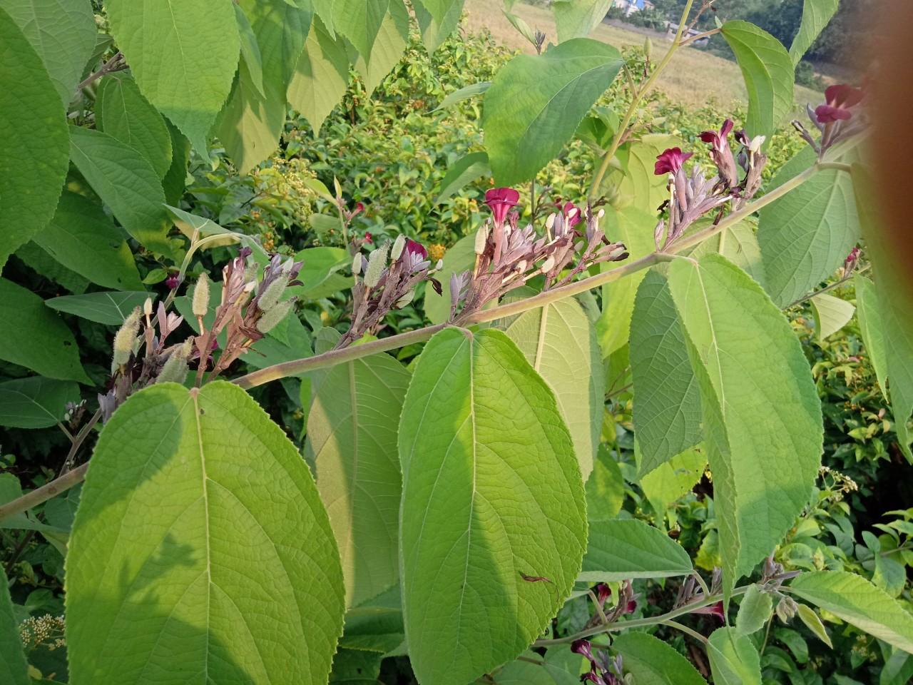 Đại lý mua bán cây an xoa chất lượng tại Yên Bái
