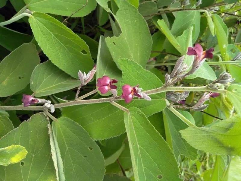 Hoa cây an xoa tím