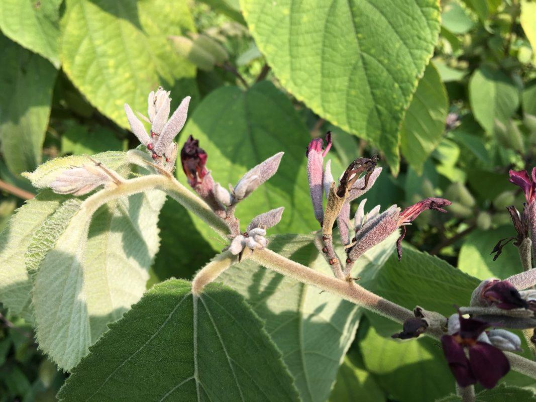 Mô tả chi tiết cây an xoa hoa tím