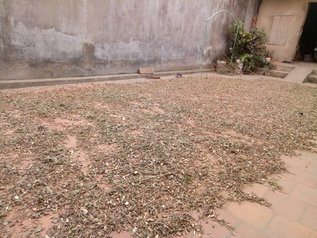 Mua bán cây an xoa tại Lào Cai giúp chữa viêm gan C