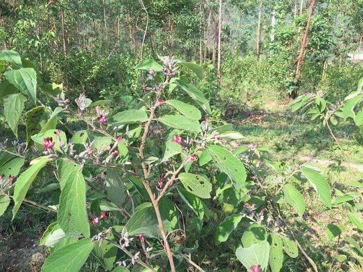 Mua bán cây an xoa tại Kon Tum giá rẻ uy tín chất lượng