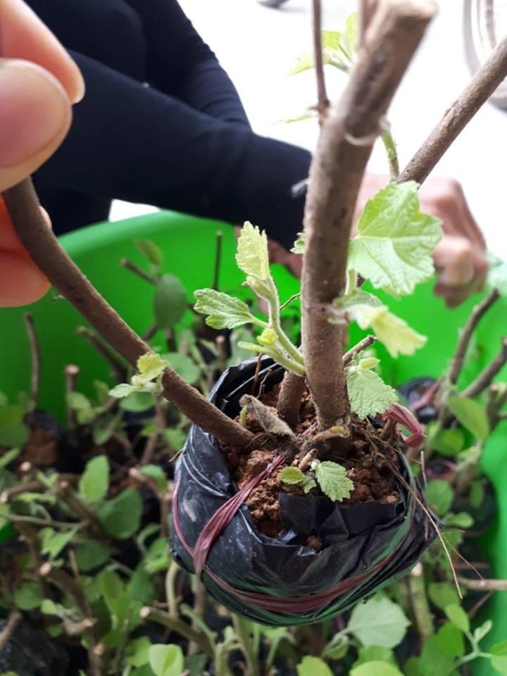 Rễ cây an xoa hoa tím có uống được không?