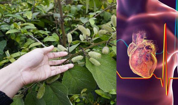 Bệnh tim mạch uống cây an xoa được không
