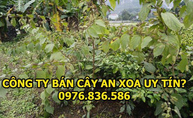 Công ty bán cây an xoa uy tín chất lượng nhất 1