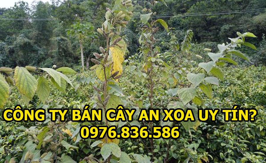 Công ty bán cây an xoa uy tín chất lượng nhất 2